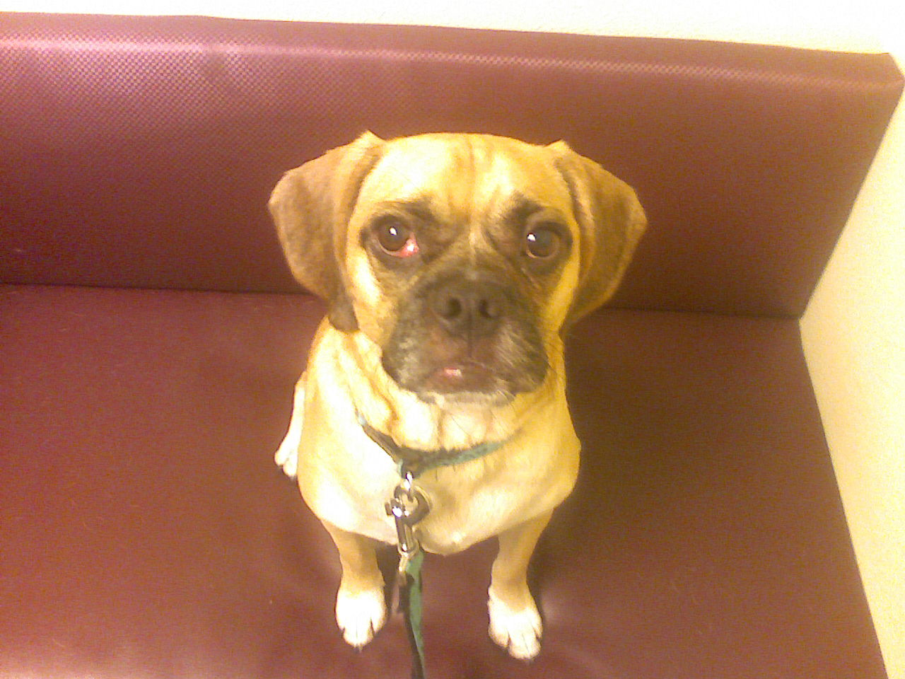 puggle eye problems
